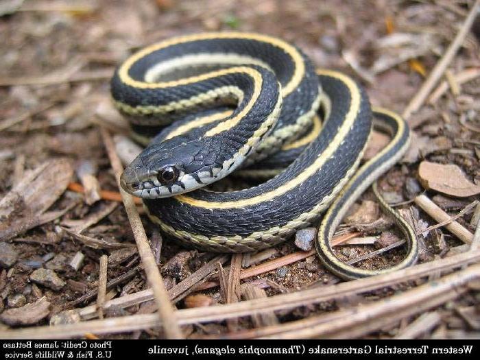 Photo Common Garden Snake