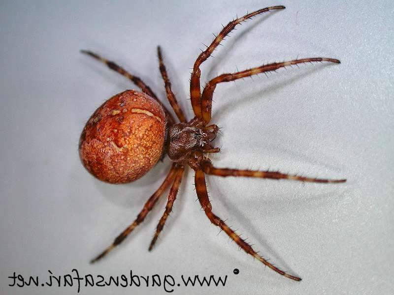 Common garden spider photos for What does a garden spider look like