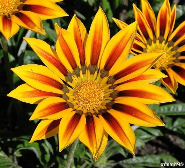 gazania flower photos